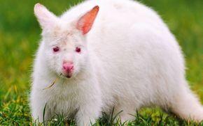 белый кенгуру, альбинос