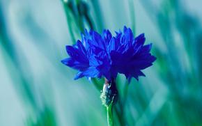 knapweed, Voloshka, azul, flor, Macro, mancha