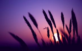sera, orecchie, spighette, campo, sole, tramonto, lilla, cielo, Macro, sfocatura