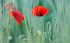 poppy, Poppies, red, two flowers, field, macro, blurring