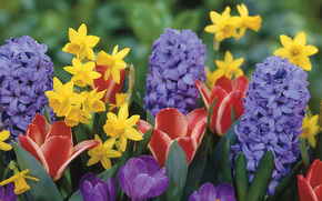 Narcisos, Tulipanes, Azafranes, jacintos