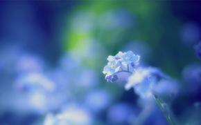 forget-me-, azul, Macro, mancha