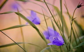 Bells, purple, tenderness, macro, blurring