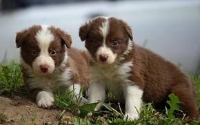 щенок, бордер-колли, малыши