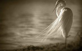 egret, bird, wings