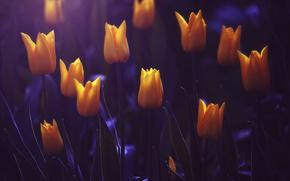 gelb, Knospen, Tulpen