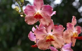 цветы, орхидея, макро, боке, ветка, бутоны, зелень, розовые