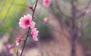 Japan, spring, tree, twig, sakura, pink, flower, buds, tenderness, macro, blurring, focus