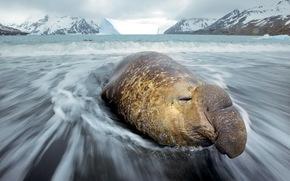 морской слон, море, природа, волны