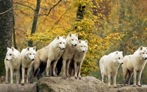 animals, Wolves, forest