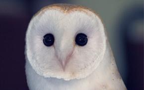 Owl, owlet, sovushka, barn-owl, bird, birdie