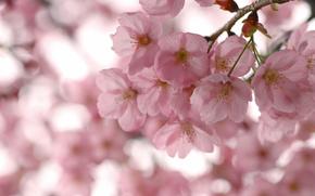 цветение, весна, сакура, розовые, цветы, лепестки, ветки, ветви, деревья, небо, макро