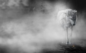 lobo, nevoeiro, flor