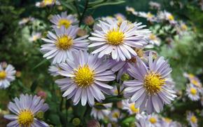 Field, Flowers, Daisies