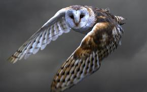 bird, Owl, barn-owl, flight, feathers, wings, WAG, view