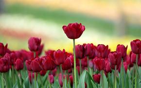 Flowers, Tulips, background, rozmytost