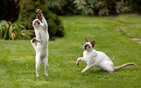 gatti, frizioni, piedi, coppia, giocare, mouse, erba, prato, verdura