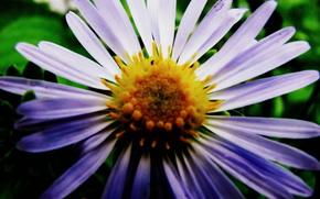 фиолет, цветок, лето