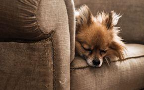 пёс, сон, кресло