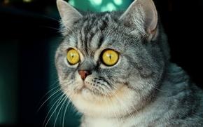 кот, британец, морда, глаза