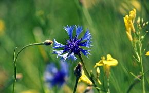 knapweed, campo, hierba, verano, azul
