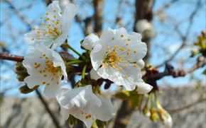 цветы, весна, небо, пестик, тычинки, черешня