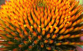 Эхинацея, цветок, растение, сад, макро, желтый