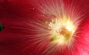 Мальва, цветок, растение, сад, красный, макро