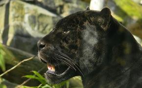 giaguaro, nero, pantera, grugno, profilo, vista, predatore