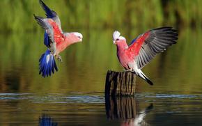 Birds, Parrots, game, river, rozmytost