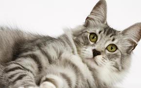 gatto, bianco, vista, Kote, micio, gatto, gatto