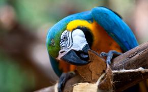 parrot, bird, macaw, blue, beak