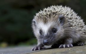 hedgehog, Crew cut, background