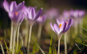 Crocuses, purple, Petals, spring, grass, macro, blurring, reflections
