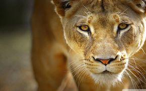 leonessa, predatore, vista