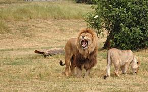 leone, leonessa, re, grida, gatti, carta da parati
