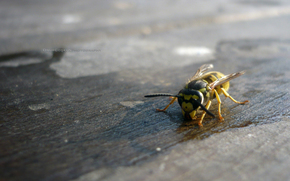 avispa, insecto, Hymenoptera, escozor, stebelchatobryuhie