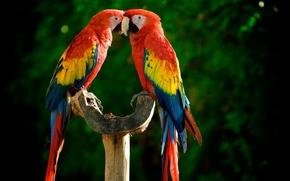 Parrots, colorful, bright, perch