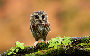 Owl, owlet, sovenyatko, eyes