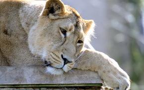 leone, leonessa, , grugno, triste