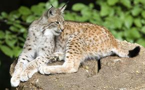 lynx, feet, is, ears, brush, looks, view, stone