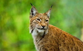 lince, Europeu, focinho, orelhas, ver, escovar, bigodes, gato selvagem