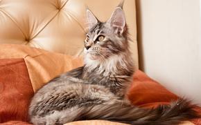 缅因库恩, 猫, 小猫, 动物, 玳瑁, 猫