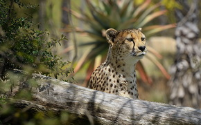 cheetah, snout, predator, view, interest