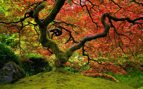 nature, Japanese Garden, maple, red