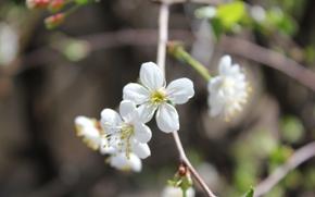 весна, цветы, дерево