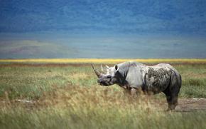rinoceronte, campo, hierba, horizonte