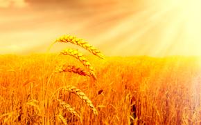 поле, солнце, хлеб, колосья