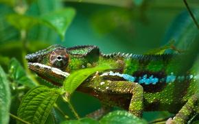 geckos, reptile, lizard
