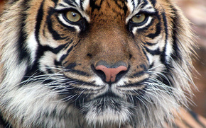 tigre, bigode, animal